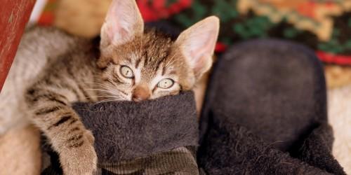 A macskák betegségei - Macska-AIDS (FIV)
