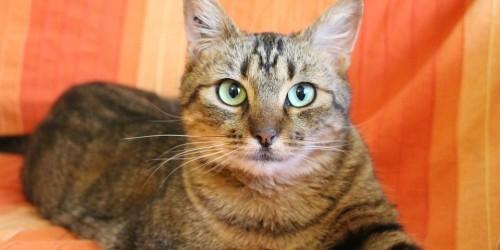 Macskák betegségei - Calicivírus okozta nátha